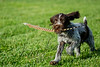 Mammals, dogs, German wire haired pointer, puppy