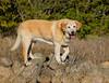 Mammals, dogs, Labrador retriever, Kacee