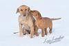 Mammals, dogs, yellow lab
