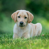 Mammals, dogs, yellow Labrador retriever,  puppy