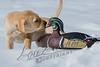 Mammals, dogs, yellow Labrador retriever, puppy in snow