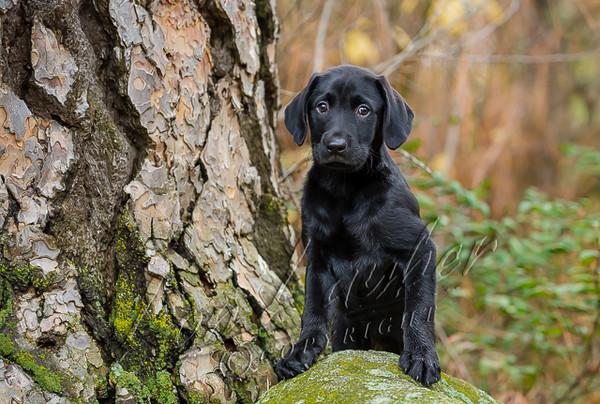 Mammals, dogs, Labrador retriever, black lab puppy