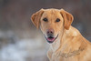 Mammals, dogs, yellow lab, Tanni