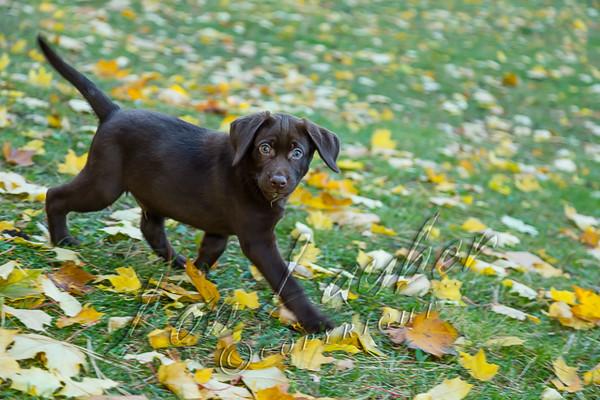 Mammals, dogs, chocolate Labrador retriever puppy