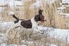 Mammals, domestic dog, springer spaniel