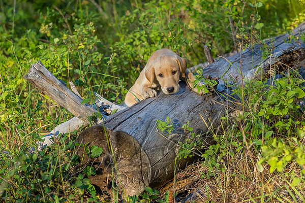 Dogs, domestic dogs, yellow lab puppy