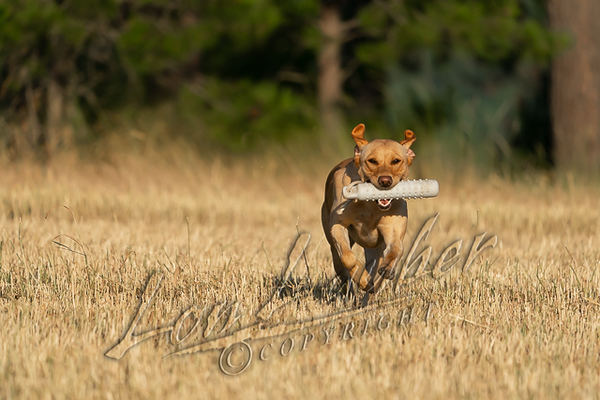 Mammals, dogs, yellow Labrador retriever, retrieving a dummy or bumper