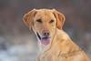 Mammals, dogs, yellow lab, Tanni
