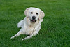 Mammals, dogs, white golden retriever\