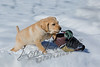 Mammals, dogs, yellow Labrador retriever, puppy in snow