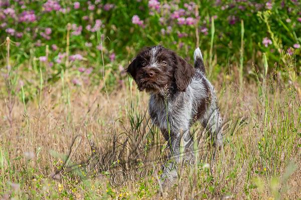 Mammals, dogs, German wire haired pointer, puppy