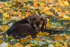 Mammals, dogs, chocolate Labrador retriever puppy