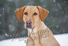 Mammals, dogs, yellow Labrador retriever, Lucy