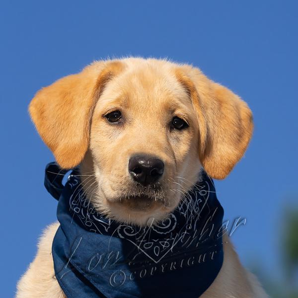 Mammals, dogs, yellow Labrador retriever,  puppy
