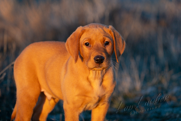 Mammals, dogs, fox red lab pup