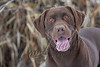 Mammals, dogs, chocolate lab, Hoss