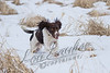 Mammals, domestic dog, male springer spaniel, Doc, winter, snow, cold, wet dog
