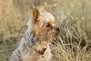 Mammals, dogs, yorkshire terrier