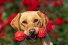 Mammals, dogs, yellow Labrador retriever,  adult female, Tanni