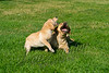 Mammals, dogs, yellow Labrador retriever, adult and puppy