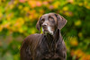 Mammals, dogs, Labrador retriever, chocolate lab, Rider