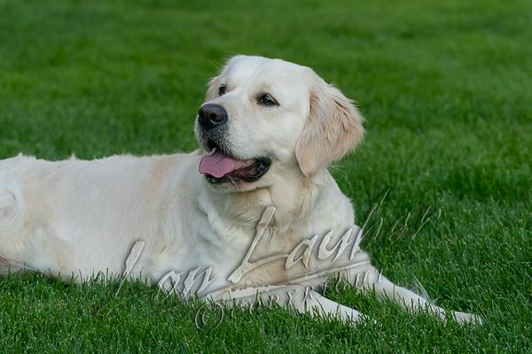 Mammals, dogs, white golden retriever\