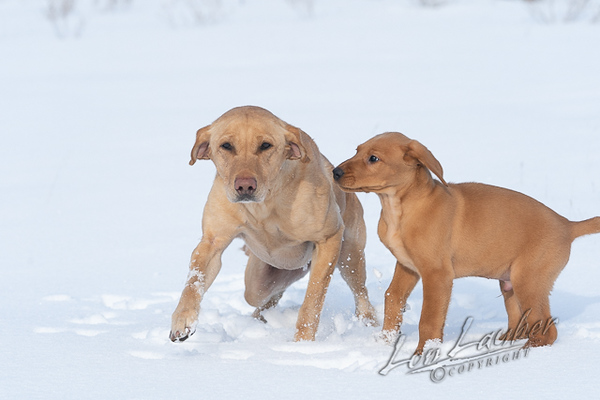Mammals, dogs, yellow lab