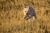 Mammals, dogs, Labrador retriever, Duke