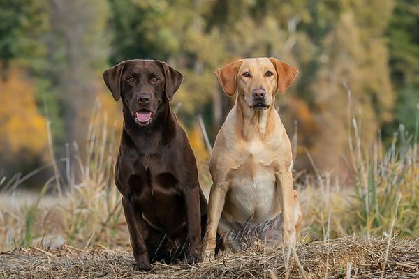 Mammals, dogs,  Labrador retriever