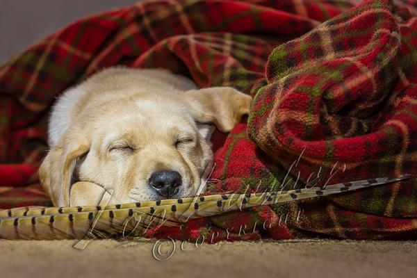 Mammals, dogs, yellow Labrador retriever