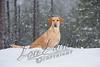 Mammals, dogs, yellow Labrador retriever, Lucy