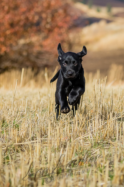 Mammals, dogs, Labrador retriever,