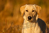Mammals, domestic dog, yellow lab, JaCe