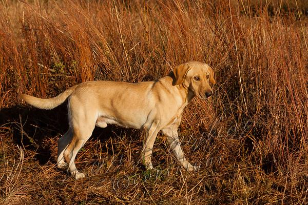 Mammals, domestic dog, yellow lab, JaCe