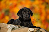 Mammals, dogs, Labrador retriever,