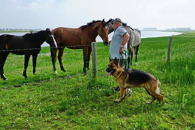 Peer voert de paarden