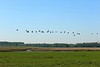 Vliegende ganzen boven de wei