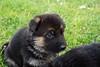 Puppies8