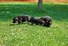 Puppies 4 weken