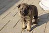 Dante x Baki pups 4 weken. Dit is Kees