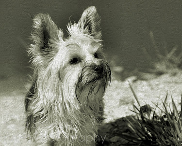 Nellie on the Beach, textured, black and white