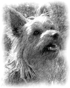 Yorkie Portrait