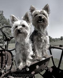 Yorkies on Tractor