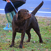 Oliver Chocolate Lab