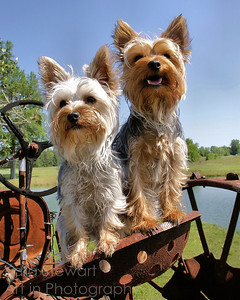 Yorkies on Tractor, color