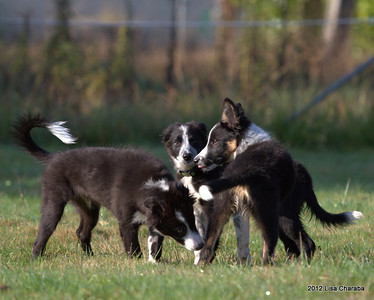 Young Dogs Playing - Doug/Cam Litters and Friends