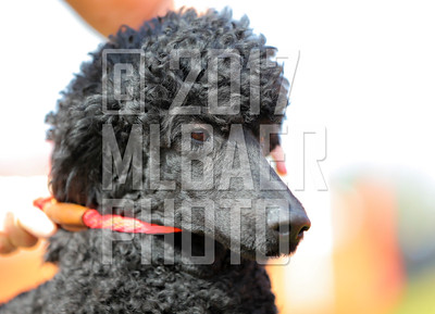 poodle-angie