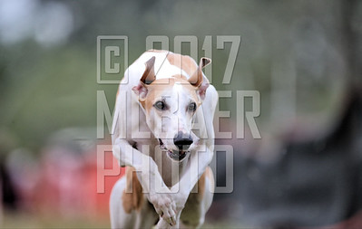 whippet-louie