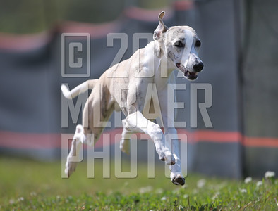 whippet-pippin