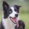 Fli - The Boarder Collie